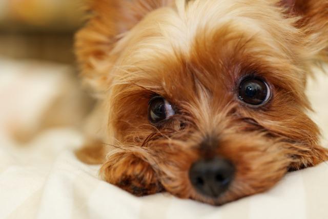 一人暮らしでも犬を飼いたい!一人暮らしでも飼育しやすい犬の特徴と注意点まとめ
