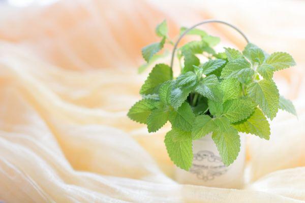 爽やかな香りがクセになる!ペパーミントのアロマオイルが心と体に与える驚きの効果とは?