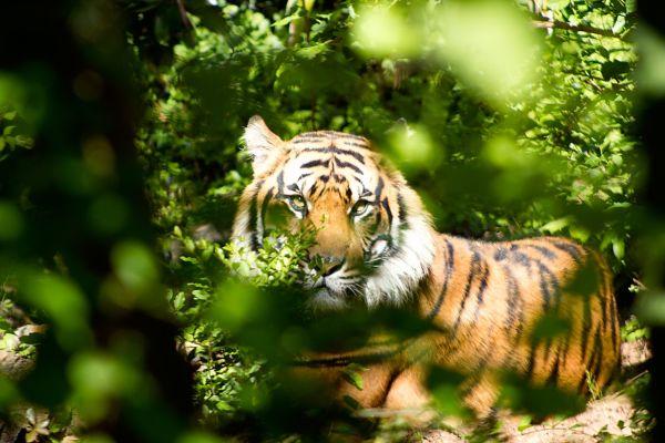 【夢占い】夢の中に虎が出てきたときの暗示・意味とは?